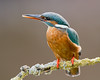 The Queen of Fishers 2 (Andrew Haynes Wildlife Images) Tags: bird nature wildlife kingfisher worcestershire canon7d ajh2008