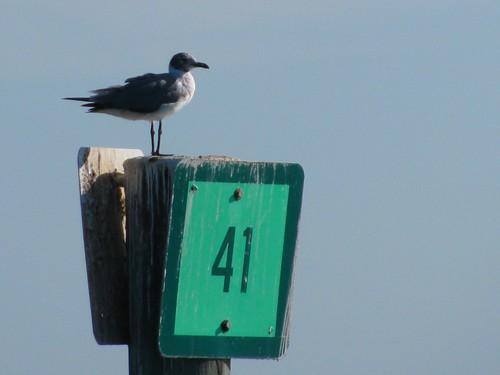 IMG_5671-Estero-Bay-plover-maybe
