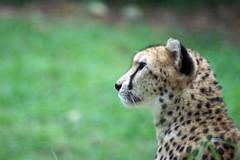 Cheetah: Singapore Zoo (dbillian) Tags: cats animal animals cat zoo big singapore feline bigcat felines cheetah bigcats cheetahs singaporezoo