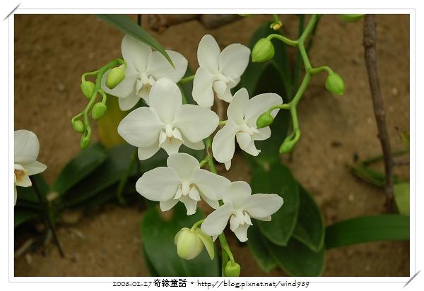 DSC_2570蝴蝶蘭