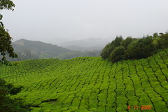 Cameron-Highlands-Perak (may-ong) Tags: malaysia cameronhighlands teaplantation perak