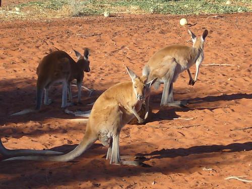 gli unici canguri che abbiamo visto.