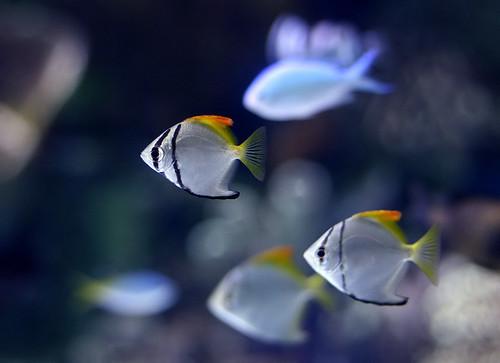 Silver Mono Fish ... for me whether Silver Mono fish are compatible in ...