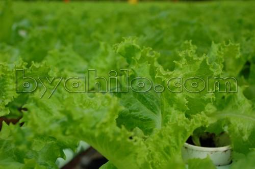 Yoki Hydroponic Lettuce Farm