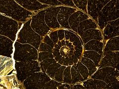 Section (Britta's photo world) Tags: macro stone fossil ammonite britta jurassic 60mmf28dmicro cephalopoda niermeyer lowerjurassic aplusphoto allin1 ishflickr llovemypics expressofpro echioceras bonenburg sinemurium
