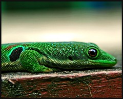 geko (Z Eduardo...) Tags: africa wild reflection green nature colors animal island eyes madagascar lagarto reptiles geko anawesomeshot superaplus aplusphoto ranomafananationalpark platinumheartaward betterthangood theperfectphotographer
