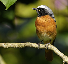 Common Redstart (Phoenicurus phoenicurus) (Wildlife Fred25) Tags: bird nature birds animal fauna wildlife aves phoenicurus oiseau franchecomt animalia sauvage redstart besanon faune doubs commonredstart phoenicurusphoenicurus rougequeue rougequeuefrontblanc velotte