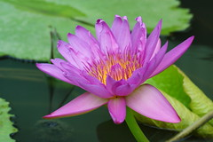 Water lily (ddsnet) Tags: plant flower water waterlily lily sony hsinchu taiwan 350 aquatic   aquaticplants         sinpu hsinpu  fantasticflower tetragona water   wonderfulworldofflowers 350 lily  nymphaeatetragona waterlily    plants flowerinjapan nymphaeatetragon aquatic nymphaea tetragona plantsnymphaea