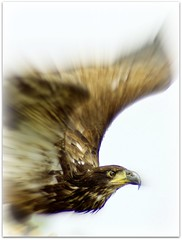 Flight of the eagle (patries71) Tags: eagle sony baldeagle raptor alpha picnik birdofprey beeksebergen arend aquilla sonyalpha patries71