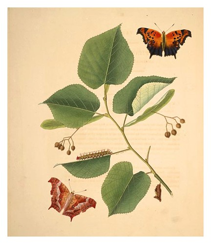 07-Illustration of Papilio C. Aureum. Tilia Alba 11