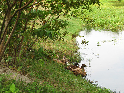 Ducks preparing to swim