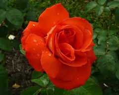 Happy 4th of July from a Lovely Rain Drenched Rose (Jack English) Tags: red orange flower macro green english nature rose jack bloom soe naturesfinest blueribbonwinner beautysecret supershot flickrsbest golddragon mywinners abigfave platinumphoto anawesomeshot impressedbeauty ultimateshot diamondclassphotographer flickrdiamond ysplix theunforgettablepictures overtheexcellence betterthangood theperfectphotographer goldstaraward excellentsflowers natureselegantshots rubyphotographer damniwishidtakenthat waterdropsmacros awesomeblossoms flickrflorescloseupmacros