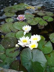 lillies 3