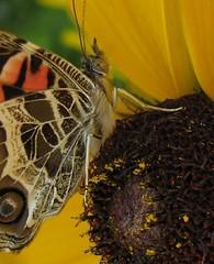American Lady (Vanessa virginiensis) on Rudbeckia