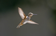 Broad tailed Hummingbird (BWJones) Tags: bird hummingbird broadtailedhummingbird selasphorusplatycercus