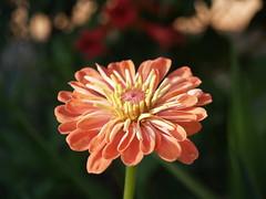 Esta flor es para ti... (Samu3dfx) Tags: flower flor olympus verano vacaciones e500 uro 1445mm samu3dfx
