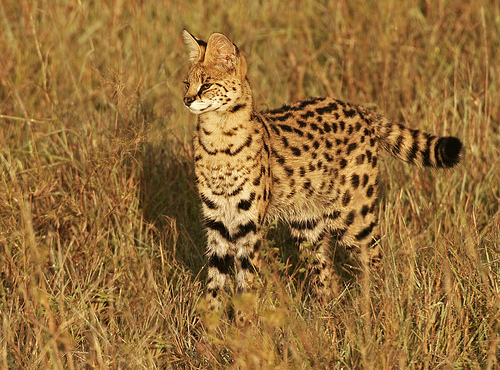 Serval by Picutre Taker 2 on Flickr