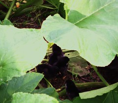 hide n seek in the squash plants