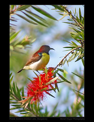 Bottle brush and Sunbird (Light and Life -Murali ) Tags: park india lake bird wings purple bangalore hebbal karnataka sunbird purplerumped