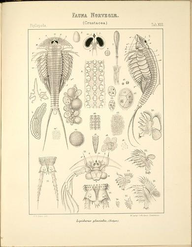 Lepidurus glacialis a