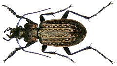 Carabus granulatus Linn, 1758 (urjsa) Tags: insect deutschland europe germania kfer coleoptera carabidae granulatus carabus carabusgranulatus taxonomy:family=carabidae taxonomy:genus=carabus coleopteraus taxonomy:species=granulatus taxonomy:binomial=carabusgranulatus geo:country=germania