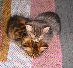 two small bundles (Scorpocat) Tags: cat kitten kat chat gato katze gatto kedi katt kissa kediyavrusu