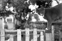 Half Nony (rootcrop54) Tags: cat orson blackandwhite 35mm fence bokeh bestofcats kedi chat 猫 kočka kissa chatte γάτα macska köttur kucing gatto 고양이 kaķis katė katt kot gato pi-sică кошка mačka maček gorbe cc1000 cc2000