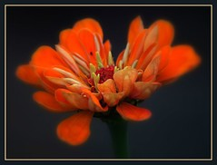 Zinnia (champbass2) Tags: flowers orange flower nature america garden flickr excellent zinnia theunforgettablepictures theunforgettablepicturesgroup excellentflowers champbass2 rubyphotographer