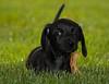 Walter the Dog: Collector of Leaves (Tom.Bricker) Tags: walter dog puppy nikon florida disney dachshund disneyworld mickeymouse wdw waltdisneyworld themepark waltdisney orlandoflorida nikkor18200mmvr nikond40 wdwfigment tombricker walterthedog