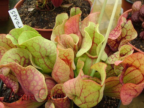 S. purpurea subp.venosa (SPV01 Cédric) 3082537513_2b265ac2af