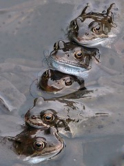 Five Frogs (velton) Tags: uk england garden scotland pond britain united great kingdom frog frogs spawn common rana temporaria velton