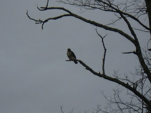 Hawk in a tree near the Parkway