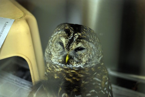 122008Barred_Owl