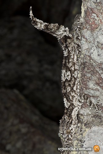Rough-throated leaf-tailed gecko (Saltuarius salebrosus)
