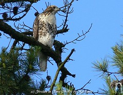FBI: CLOSE UP OF A RED TAILED HAWK (Frozen in Time photos by Marianne AWAY OFF/ON) Tags: bird nature birds wow wildlife fbi hawks redtailedhawk buteojamaicensis birdwatcher flightoffancy naturesfinest blueribbonwinner fieldguidebirdsoftheworld birdlovers youlookinatme naturesbounty favorites5 friends~ featheryfriday flickrcolour nationalgeographicwannabes mywinnerstrophy birdsfromaroundtheworld faithfulflickrfriends nationalgeographicareyougoodenough blueribbonphotography favoritesbyinterestingness birdfanaticsnolimits heartawards naturenolimits onebirdonalonelytree natureislovely birdsofeasternusa ilovemypics 5blueribbons personalbestpreservingmeaningfulmoments naturegreenstar birdsbirdsbirdsgallery4 nationalgeographiswannabes
