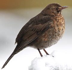 Female Blackbird in sleet and snow (earlyalan90 away awhile) Tags: platinumphoto anawesomeshot goldstaraward vosplusbellesphotos