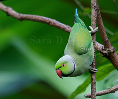 Birds of Sri Lanka , Species No 04 (Sara-D) Tags: green canon parakeet roseringedparakeet roseringed psittacula bej canonef100400mm krameri eos400d impressedbeauty wildlifeofsrilanka birdsofsrilanka ubej thewonderfulworldofbirds