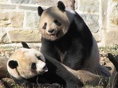 Mei & Tian: Panda Mating Day 2009 (RoxandaBear) Tags: tian january breeding mating dcist nationalzoo mei 2009 pandas hormones estrus giantpandas 372 11509 meiandtian abigfave