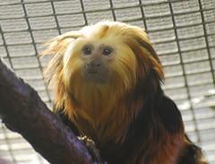 Golden-headed lion tamarin (afagen) Tags: animal zoo monkey smithsonian dc washington nationalzoo primate tamarin nationalzoologicalpark leontopithecuschrysomelas goldenheadedliontamarin