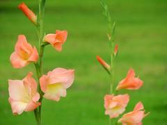 G l a d i o l o s ( Graa Vargas ) Tags: orange flower gladiolo palmadesantarita graavargas gladiolushortulanus 2009graavargasallrightsreserved 80120050814