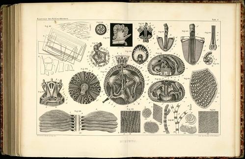 Anatomie des Echinodermes c