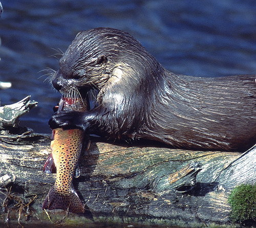 otterwithtrout