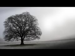 Oak (angus clyne) Tags: tree perthshire almostblackandwhite sconepalace flikcr ilovethistree treeinmist treesubject goldstaraward perthscotland itsbetterthantheoneatlochlmnd