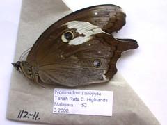 Neorina lowii