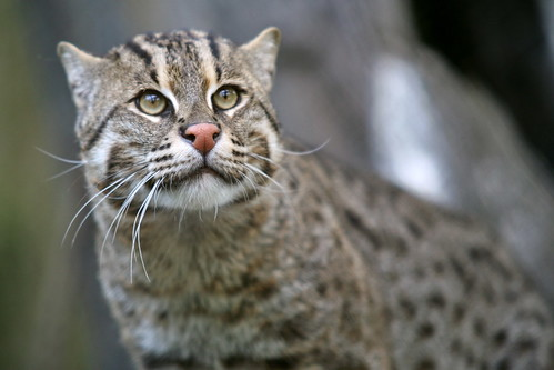 フリー写真素材, 動物, 哺乳類, ネコ科, 猫・ネコ, スナドリネコ,
