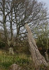 Tyneham tree texture (Catwards - it's a struggle keeping up) Tags: wood trees tree abandoned woodland landscape spring woods village dorset barebranches tyneham jurassiccoast