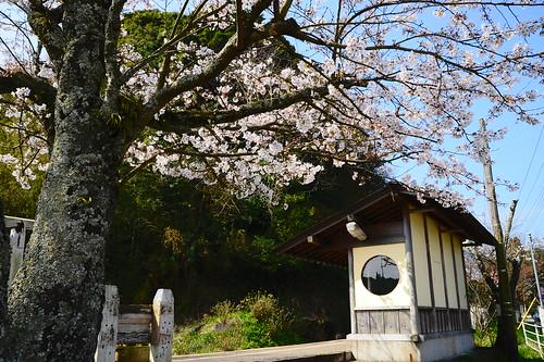 Nishihata station with Sakura