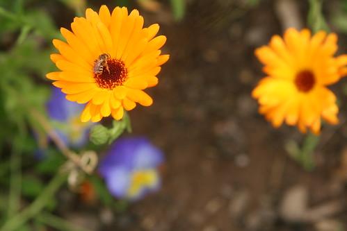 Calendula and Bee