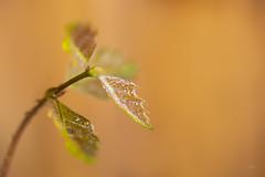 Irynamei_oak (Emyan) Tags: trees nature seeds irynamei