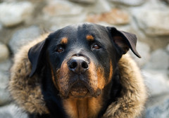 Fashionista! (RottieLover) Tags: dog pet pets dogs fashion animal animals fur nikon rottweiler faux 1755mmf28g d200 rottie nero rottweilers 1755mm rotties mrsu nikonstunninggallery abigfave